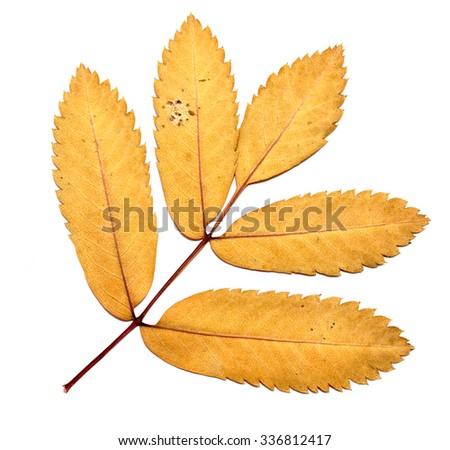 autumn leaves on a white background, rowan - stock photo