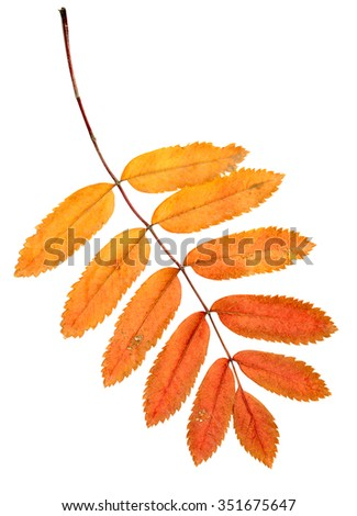 autumn leaves on a white background, rowan - stock photo