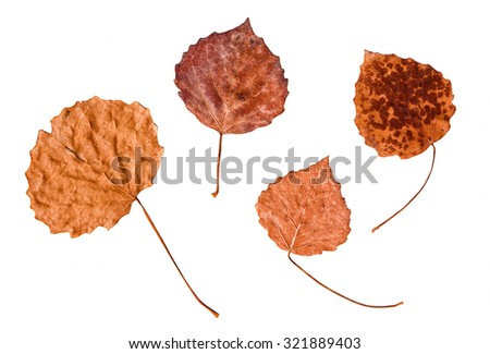 Autumn leaves set isolated on white background. Close-up of 4 rusty textured autumn leaves on white.   - stock photo