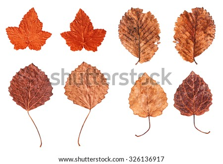 Autumn leaves set isolated on white background. Close-up of 4 rusty textured autumn leaves on white. Fallen leaves. Elm. - stock photo