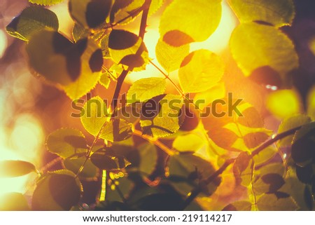 Autumn Leaves Sunlight Background. Yellow Leaves Among Green Foliage. Autumn, Fall Time - stock photo