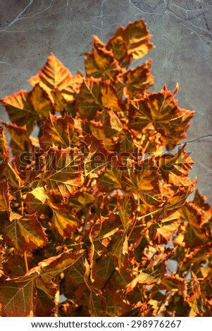 Autumn leaves with the blue sky background, Yellow, red and green bright colorful leaves and branches, fall themes - stock photo
