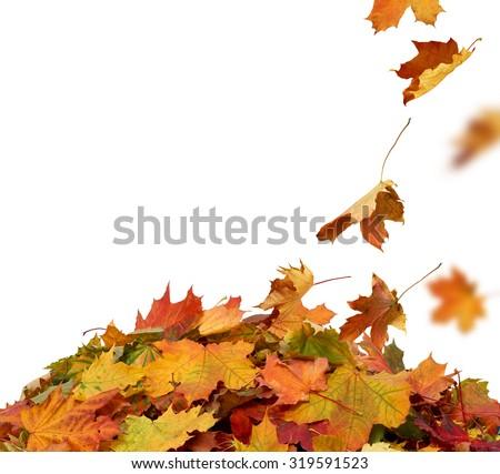 Autumn maple falling leaves isolated on white background  - stock photo