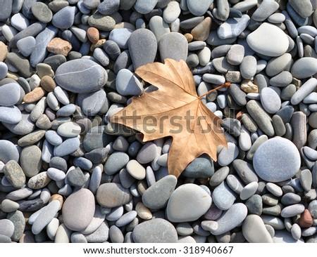 Autumn Maple Leaf on Stone Cobbles of the Sea Beach - stock photo