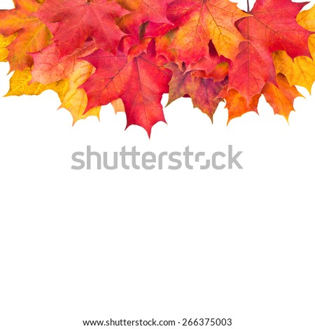 Autumn maple leafs isolated on a white background - stock photo