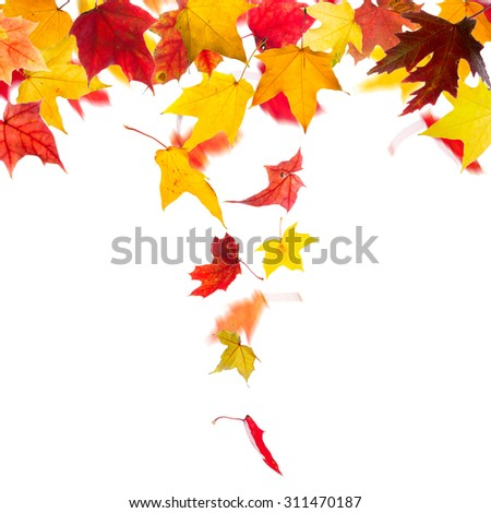 Autumn maple leaves falling down, on white background. - stock photo