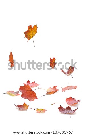 autumn  maple leaves falling  on white background  with shadow - stock photo