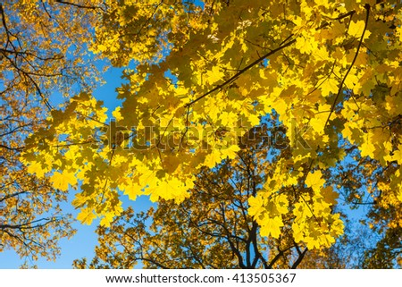 autumn maple leaves, forest - stock photo