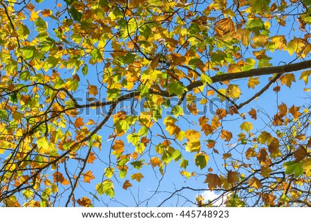 Autumn maple leaves on sunny day against blue sky on the background. Bright yellow foliage of fall season texture, wallpaper. Selective focus - stock photo