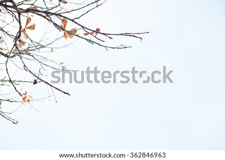 Autumn Maple Tree Leaves on a Tree Branch Blowing Against Blue Sky and Copy space - stock photo