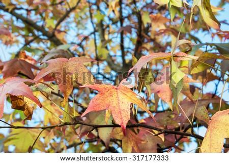Autumn maple tree. Seasonal natural theme. - stock photo