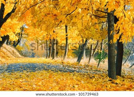 autumn maple trees in autumn city park - stock photo