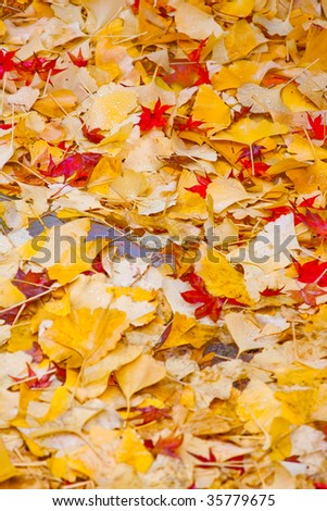 Autumn maples and ginkgo leaves - stock photo