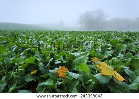 Autumn misty field in north Poland/ Misty field - stock photo