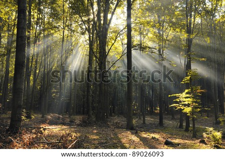 Autumn morning in old beech forest. Poland. - stock photo