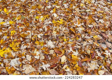 Autumn multicolor foliage, Vermont - stock photo