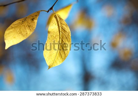 Autumn nature background. Yellow autumn leaves on a tree. Selective focus, toned - stock photo
