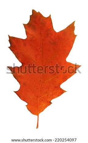 Autumn oak leaf                 - stock photo
