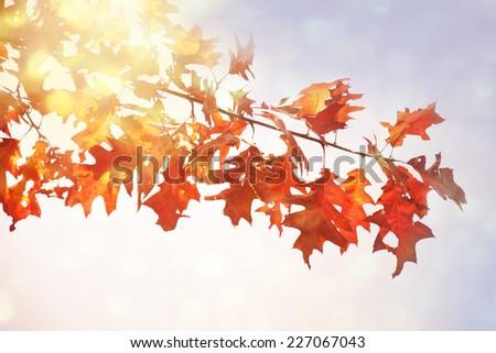 Autumn oak leaves in sunrise light. - stock photo