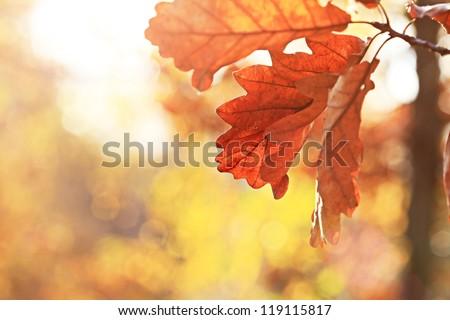 Autumn oak leaves. Natural background. - stock photo