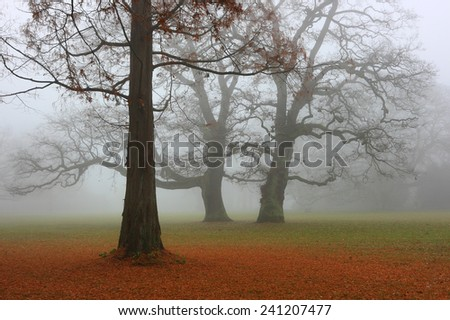 Autumn park in a fog. Metasequoia tree with a fallen red needles and two oaks in the foggy day. - stock photo