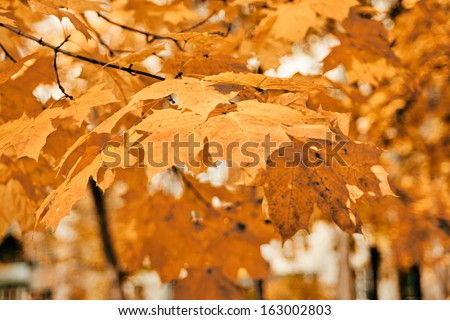 autumn park with yellow maples - stock photo