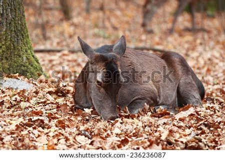 Autumn portrait of female deer in the woods lying on leaves - stock photo