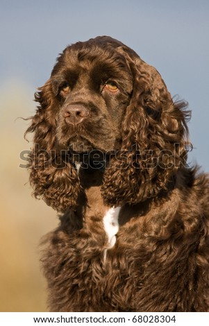 Autumn portrait of nice american cocker spaniel - stock photo