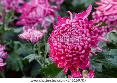 Autumn red chrysanthemum flower in full bloom - stock photo