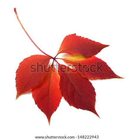 Autumn red leaf isolated on white background - stock photo