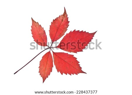 Autumn red leaf of creeper isolated on white  - stock photo