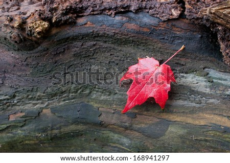 Autumn red maple leaf on a piece of wood - stock photo