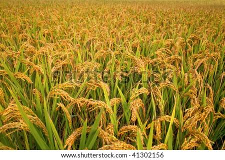Autumn rice field - stock photo
