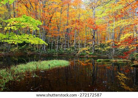 Autumn Swamp Scenery. Protected wetlands and colorful autumn foliage bathed in golden light. In Tsutanuma, Towada Hachimantai National Park , Aomori , Japan. - stock photo
