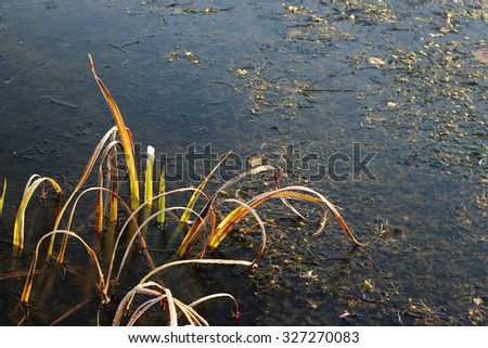 Autumn, the first layer of ice on the pond, frozen yellow and green blades of grass, seaweed, The first snow laid down on yet not dried yellow and green fallen leaves. The first ice and grass - stock photo