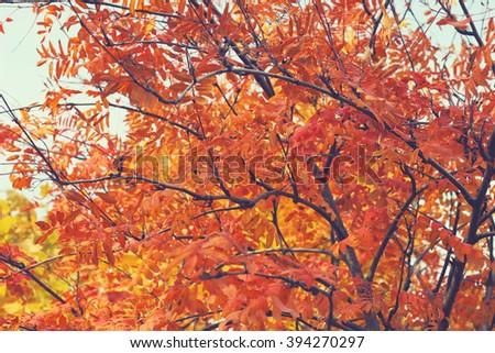 autumn tree branches  - stock photo
