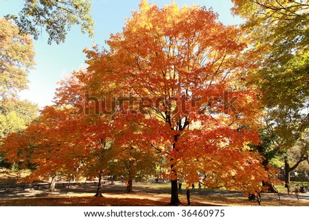 Autumn Tree in Central Park, NY,NY USA - stock photo