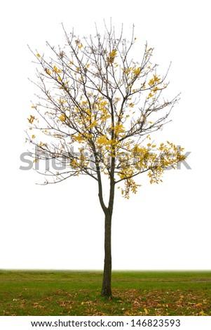 autumn tree isolated on white background  - stock photo