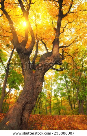 autumn tree with yellow leaves and sun rays - stock photo