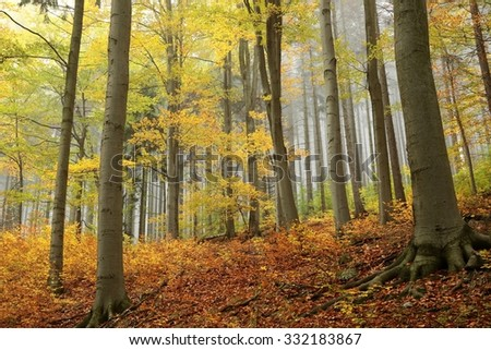 Autumn trees on the background of spruce trees in the fog. - stock photo