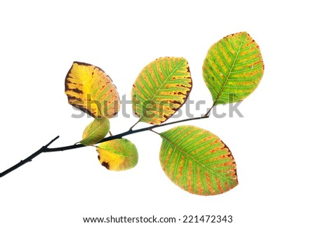 Autumn twig of smoke tree with multicolored leaves isolated on white  - stock photo
