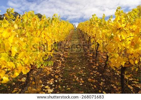 Autumn vinyard in Adelaide Hills, South Australia - stock photo