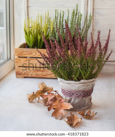 Autumn window decoration with heather and oak leaves - stock photo