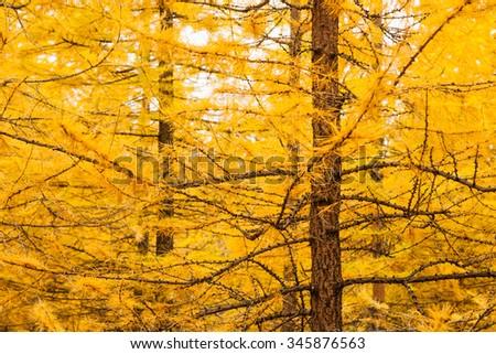 Autumn yellow larch tree background - stock photo