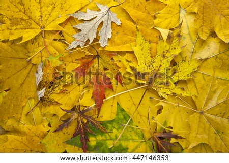 autumn yellow leaves as background closeup - stock photo