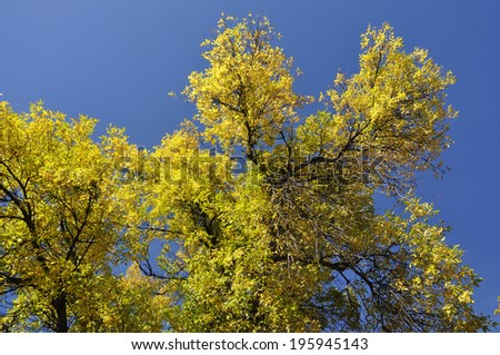 autumn yellow leaves in sunny sky - stock photo