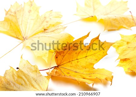 Autumn yellow maple-leafs in white background. Selective focus - stock photo