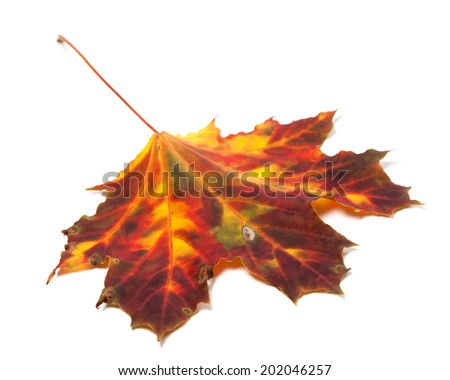 Autumn yellowed maple-leaf isolated on white background. Selective focus - stock photo