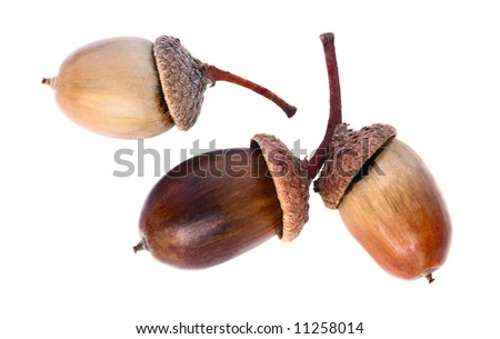 Autumnal acorn in increase on white background - stock photo
