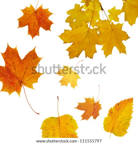 autumnal background with  Maple tree - stock photo
